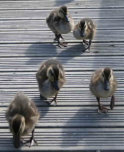 Some of the Forda ducklings crossing the bridge