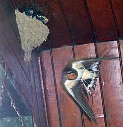 Some of Forda's Swallows